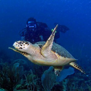 MJS Underwater Video Footage Hawksbill Sea Turtle